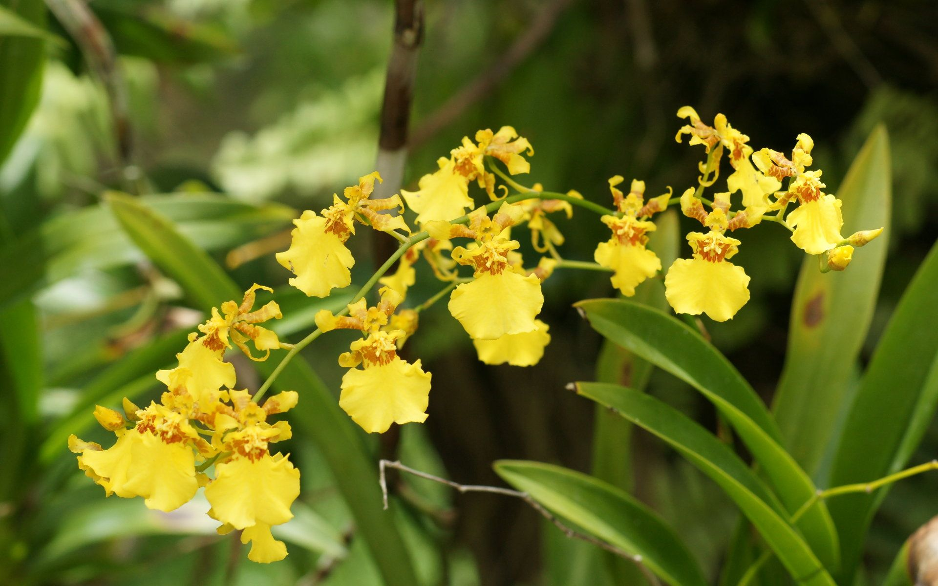 Yellow Orchid Flower Symbolism And Facts Flower Meanings
