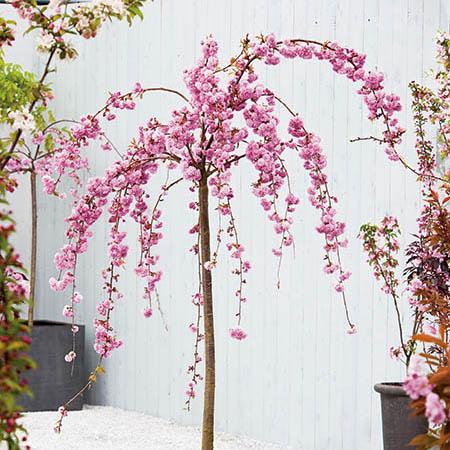 7ft Cheals Weeping Cherry Blossom Tree 18l Pot Half Standard 4 Years Old Prunus Kiku Shidare Zakura 175 99 Weeping Cherry Tree Blossom Trees Cherry Blossom Tree