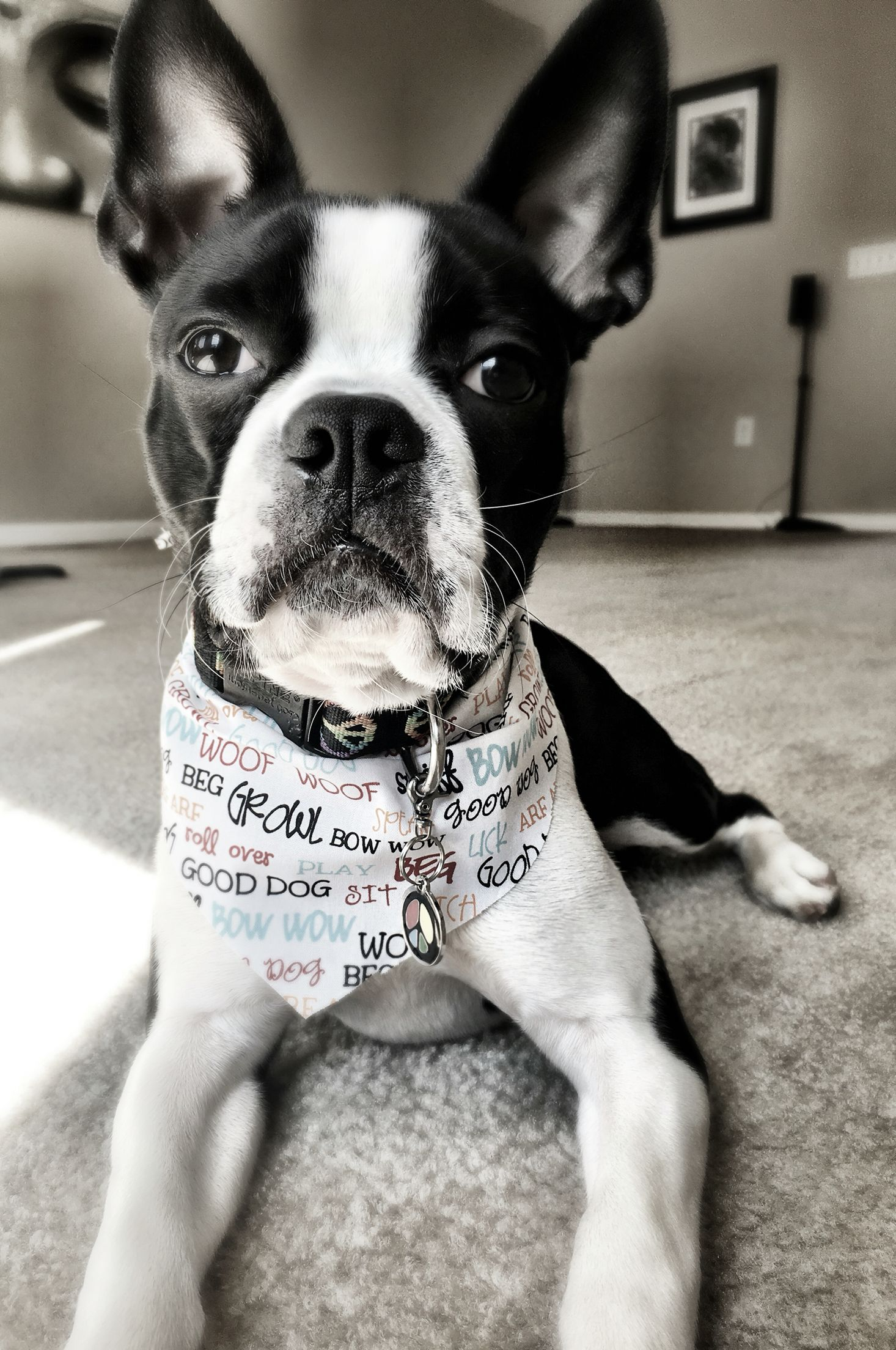 Cooper Boston terrier, Puppies, Terrier