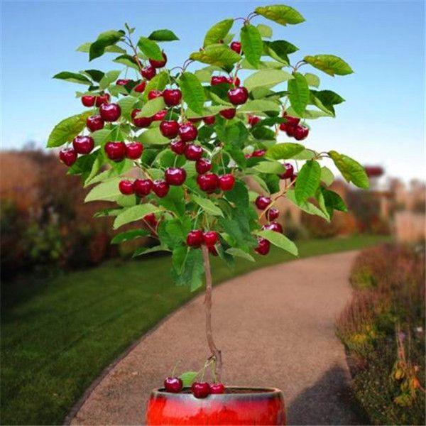 과일 씨앗 30 개 벚꽃 씨앗 트리 씨앗 분재 나무 씨앗, 홈 정원 화분 식물 DIY 홈 정원 장식 AA