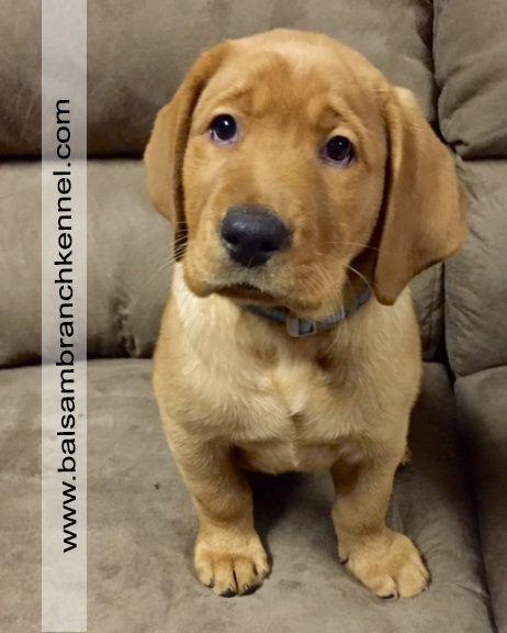 Blue Fox Red Labrador Puppy Balsam Branch Kennel Wisconsin