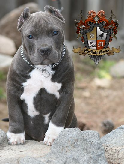 Pin By Fernando Braz On Pitbulls Pinterest Dogs Puppies And