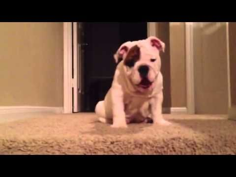 Bulldog Puppy Attempts Epic First Journey Down Stairs Bulldog