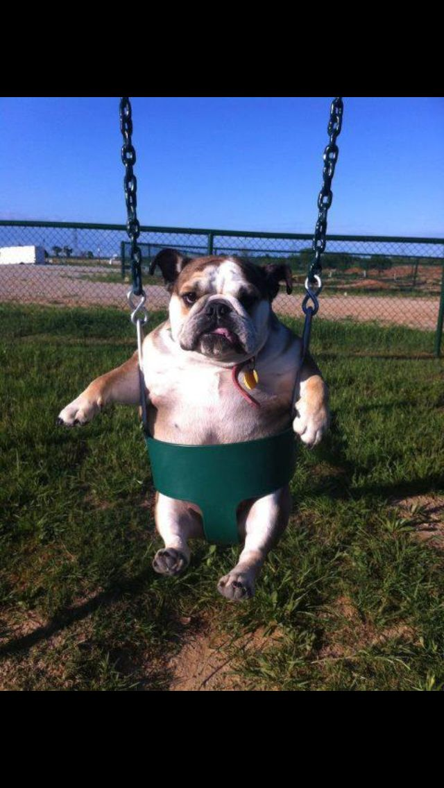 Great Cdog Chubby Adorable Dog - e6dc494f449377776c38e42d933f5ad0  Photograph_69992  .jpg