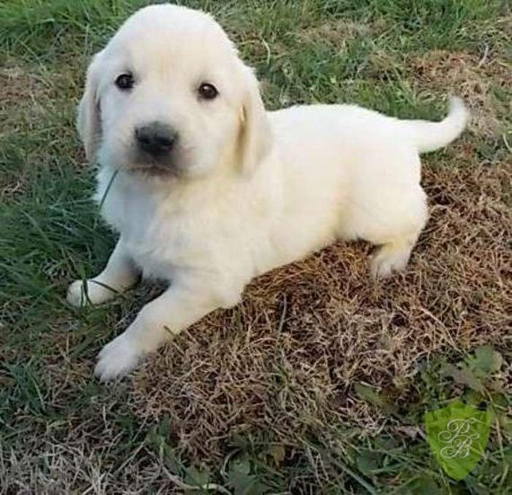 Puppies for Sale Texas Golden Retriever Breeders