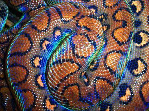 Brazilian Rainbow Boa Tumblr Colorful Reptiles Pinterest