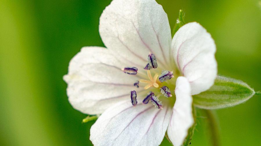 ゲンノショウコ(現の証拠 Geranium thunbergii)は、フウロソウ科の多年草。日本では北海道の草地や本州~九州の山野、また朝鮮半島、中国大陸などに自生する。生薬のひとつであり、植物名は「(胃腸に)実際に効く証拠」を意味する。玄草(げんそう)ともいう。シノニムG. nepalense subsp. thunbergii、G. nepalense var. thunbergiiなど 。
