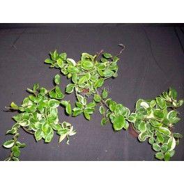 HOYA CARNOSA 'HOLLIANA' - Wax Flowers