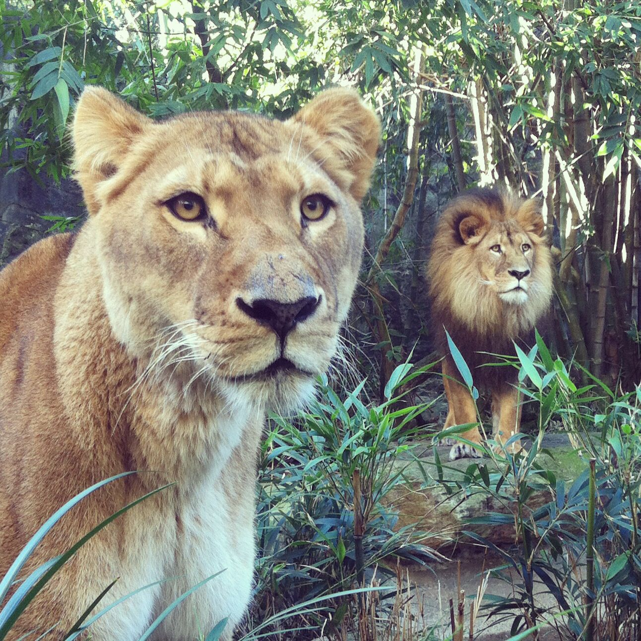 Lions at Taronga Zoo, Sydney, Australia Zoo, Animals, Lion