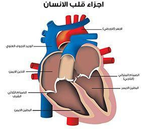 امراض القلب Parts Of The Heart Heart Valves Human Heart