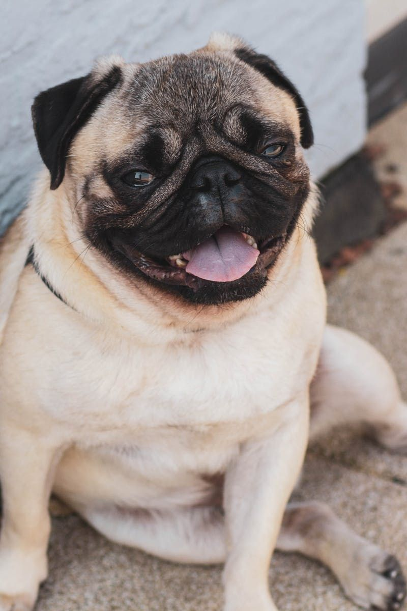 Fawn Pug Resting On Floor Dog Luve Stories Luveurpet Do Pugs