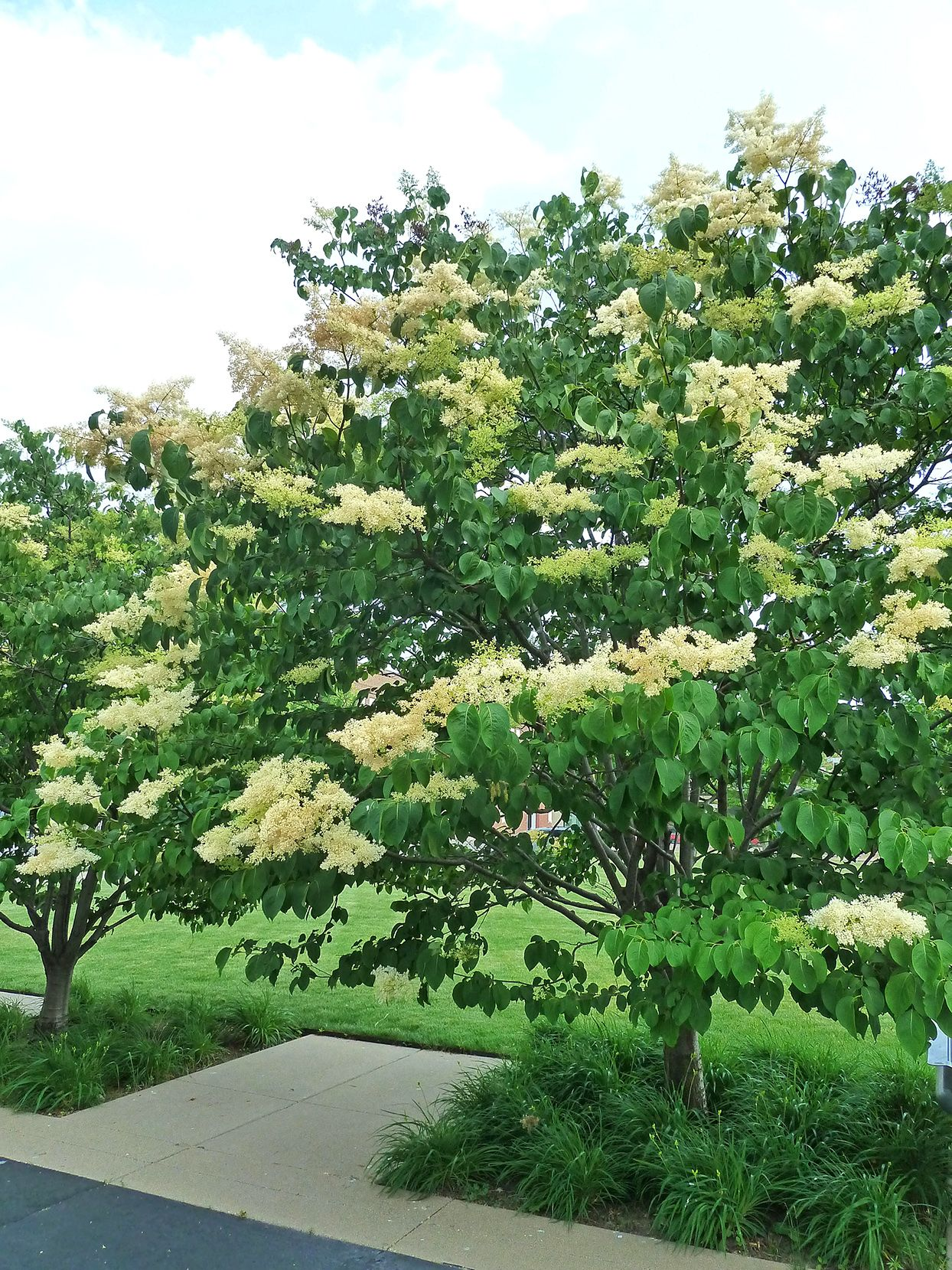Lilac Tree Syringa Fragrant Flowering Japanese Tree Lilac To Get The Same Perfume In The Garden As Shrub Lila Fragrant Flowers Lilac Tree Japanese Lilac Tree