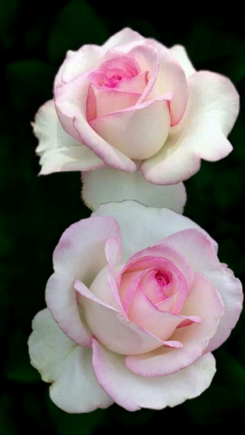 Pin By My Anh On 1 A File General Rose Seeds Beautiful Roses Unusual Flowers