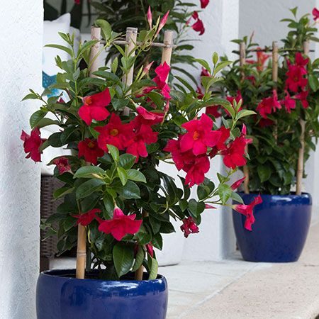 How To Overwinter Your Mandevilla Care Tips For Winter In Cold