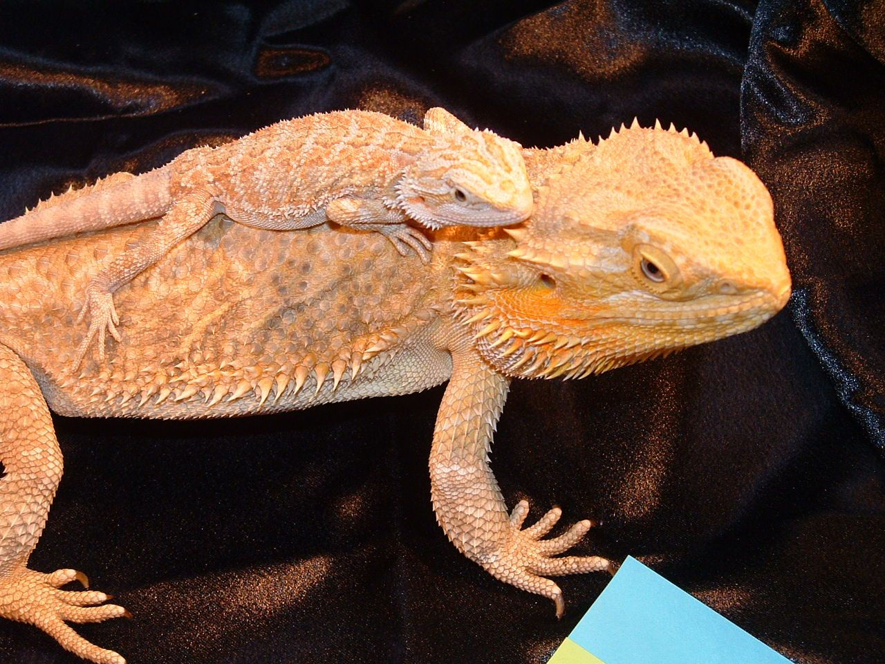 Bearded Dragons Screen Saver 1 0 Free Download Bearded Dragon Bearded Dragon Care Reptile Room