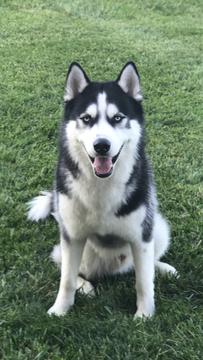 Siberian Husky Puppy For Sale In Louisville Ky Adn 37150 On