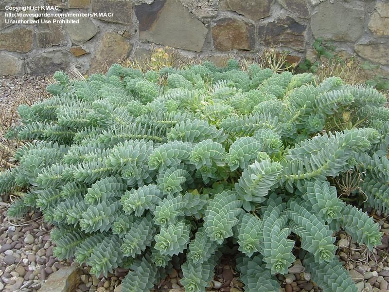 Full Size Picture Of Creeping Spurge Donkey Tail Myrtle Spurge