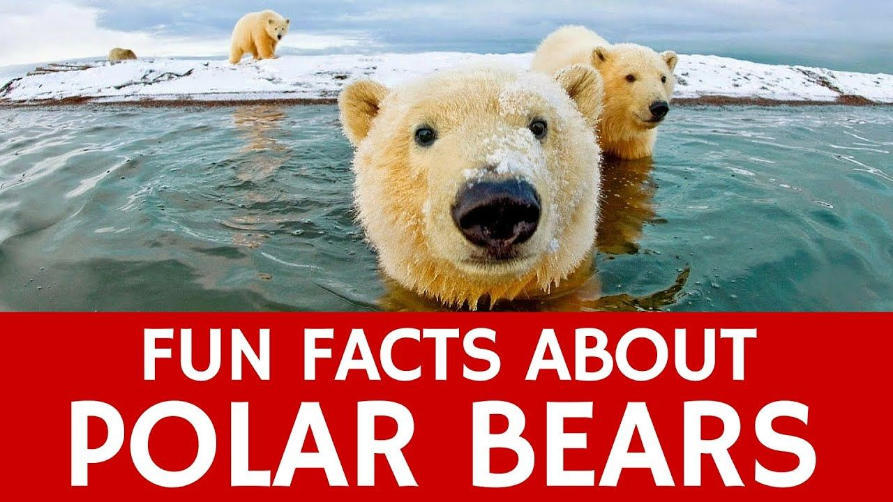 Interesting Facts about Polar Bears Educational Video