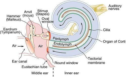 Detail inner ear diagram speech language pathology pinterest detail inner ear diagram ccuart Choice Image