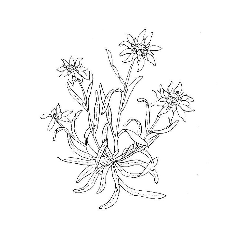 Edelweiss tattoo google search tattoos pinterest tatouage coloriage and coloriage orange - Coloriage fleur edelweiss ...