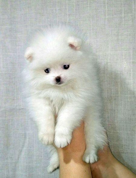 Epingle Sur Pomeranian Spitz For Sale