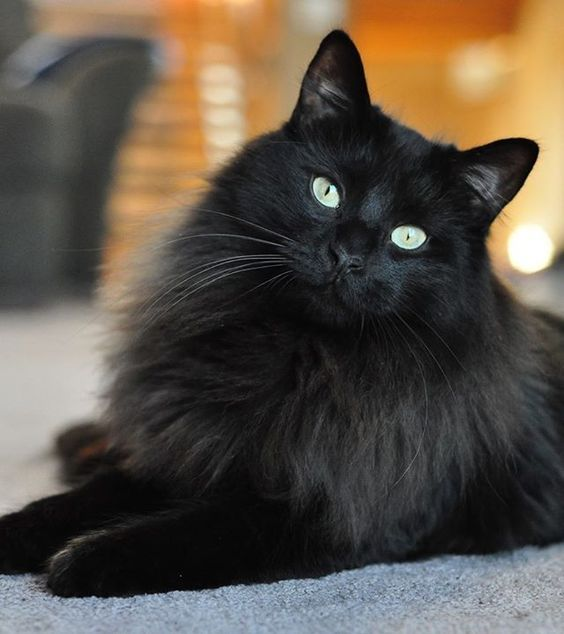 Such a pretty, fluffy, black fur person. Such green soft ...
