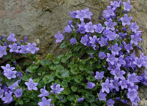 Campanula weed identification garden weeds pinterest garden weeds common garden weeds and for Olive garden blue springs missouri
