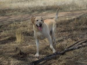 Henry Is An Adopted Labrador Retriever Dog In Colorado Springs Co