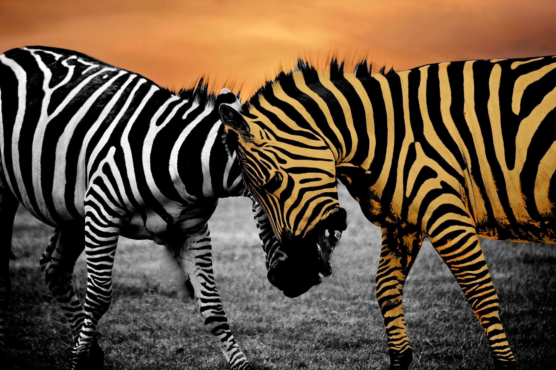 africa, aggression, aggressive, animal, bite, black