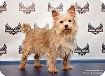 Staunton Va Westie West Highland White Terrier Yorkie