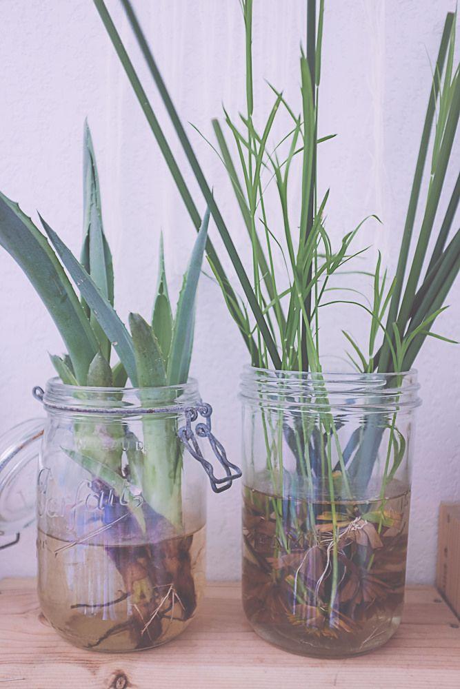 bouturer des papyrus plants terraria and gardens. Black Bedroom Furniture Sets. Home Design Ideas