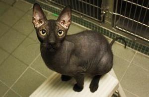 Petfinder Adoptable Cat Sphynx Hairless Cat New York Ny Junior Hairless Cat Cat Adoption Cats New York