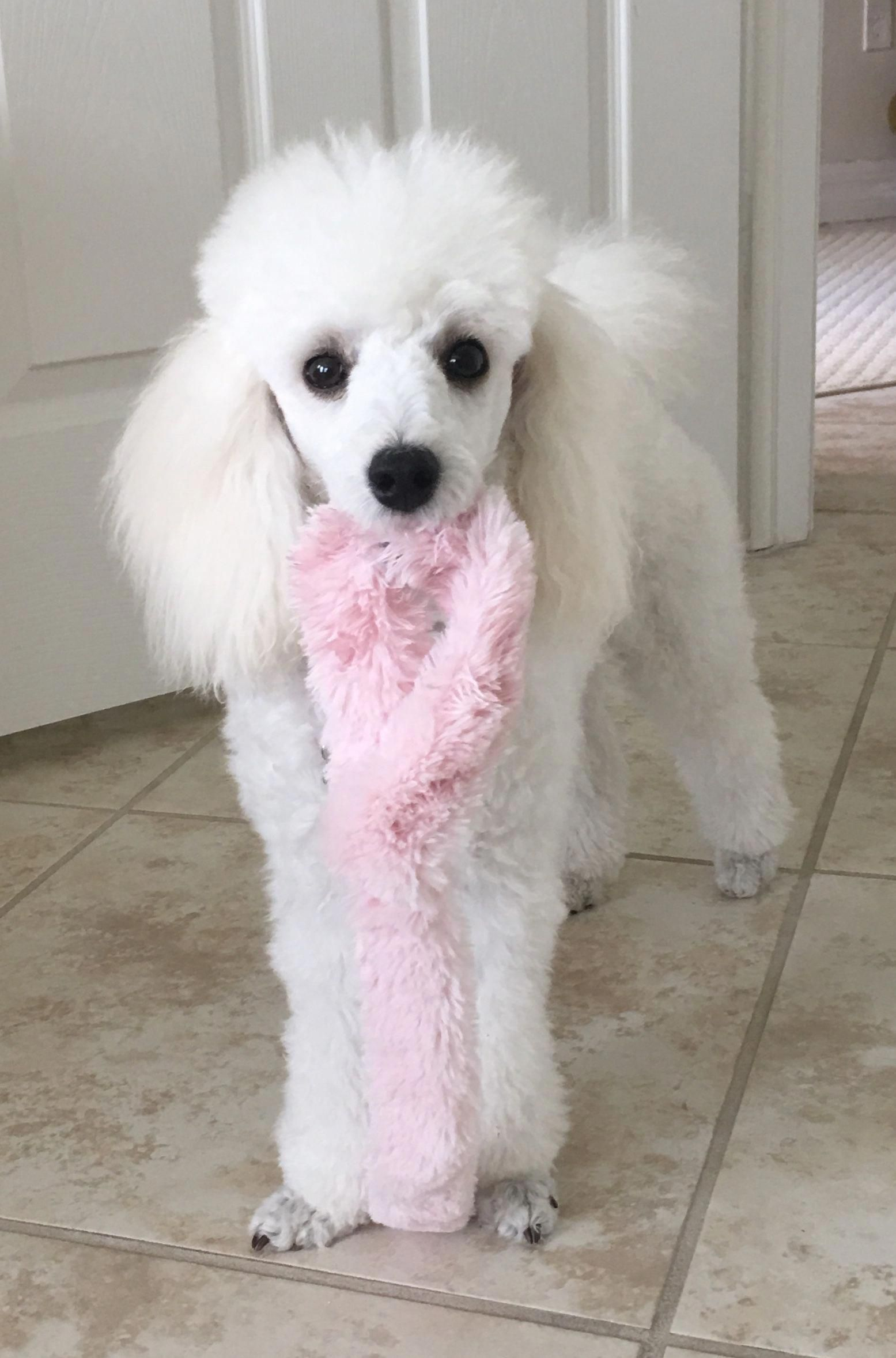 Mixed Haircut Styles Poodle Poodle Dogs Poodle Hair