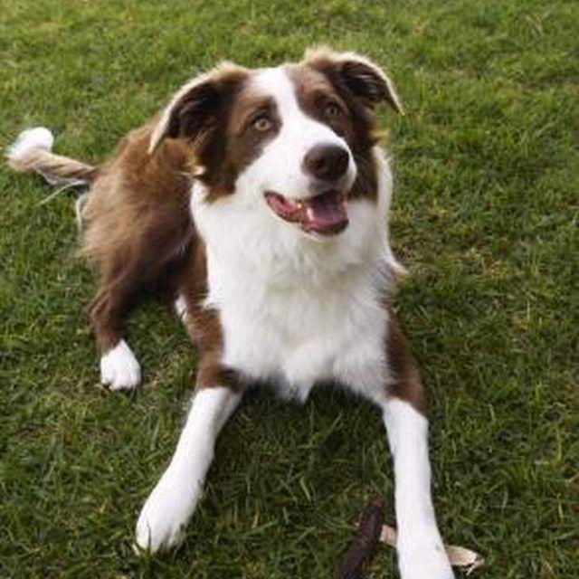 Border Collie Training Secrets Herding dogs, Border