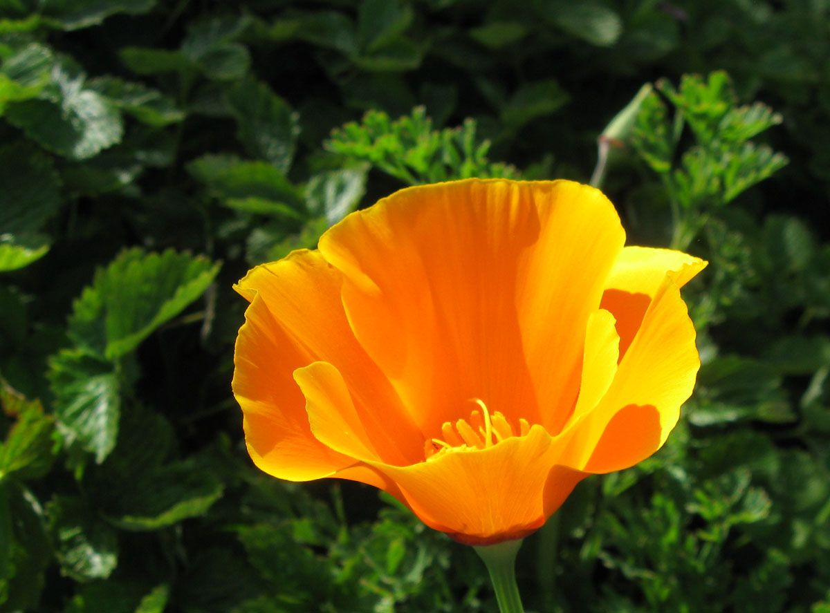 California Poppy Ca State Flower Tattoo Pinterest California