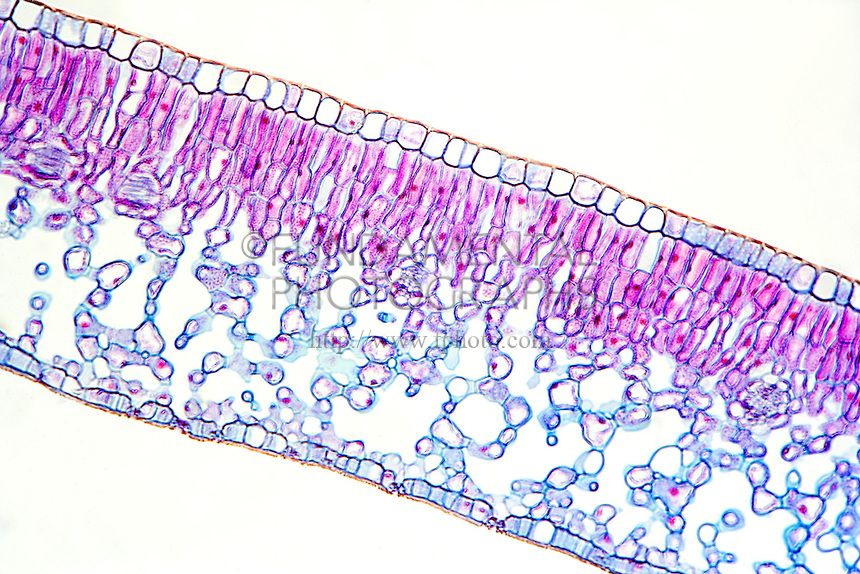 Plant cells - a typical leaf cross section (With images ...