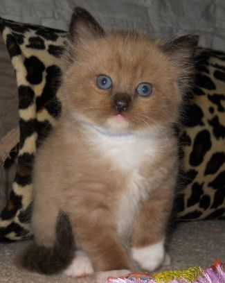My new Mink Ragdoll kitten. He's only 7 weeks here, have to wait another 5 weeks till I get him!!