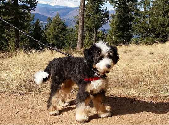 All About The Bernedoodle The Intriguing New Hybrid