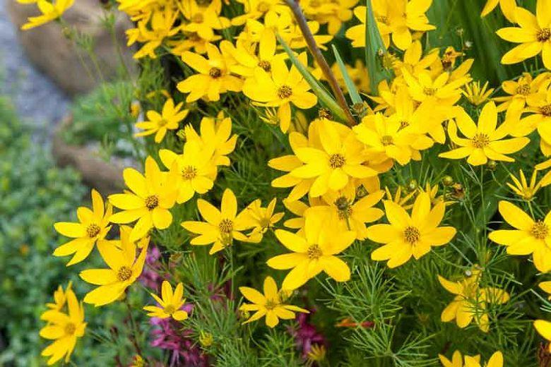 Coreopsis Verticillata Zagreb Tickseed In 2020 Yellow Perennials Tickseed Perennials