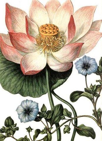 Vintage Lotus Lotus In 2019 Vintage Botanical Prints Vintage