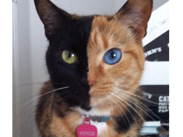 Conheça Venus: a gatinha que fez sucesso no Facebook e existe de verdade - Bichos - R7
