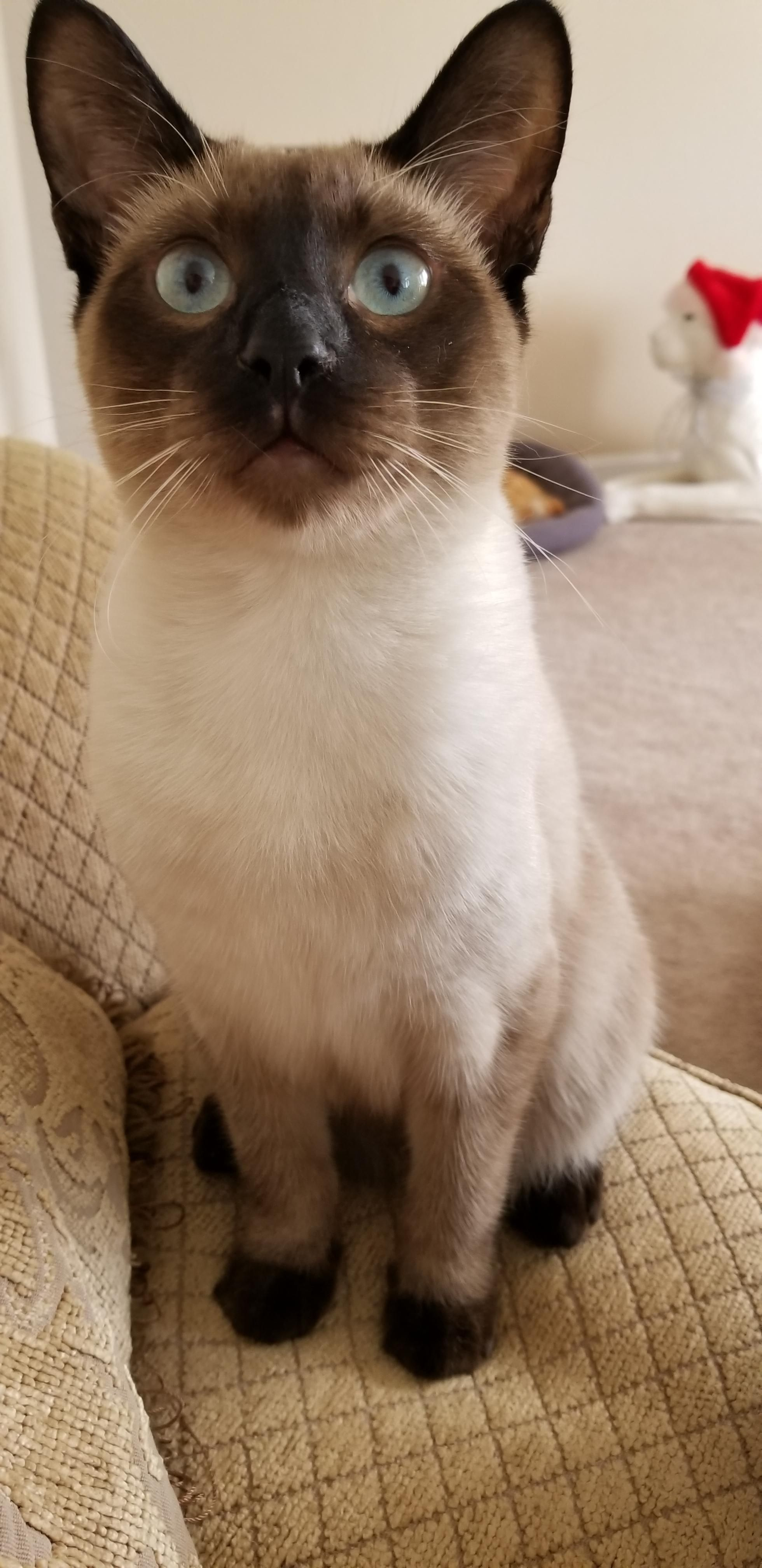 Lucifer Tabby Cat Tabby Cat Names Fluffy Cat