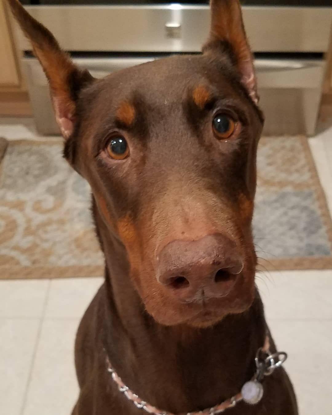 First Doggo Photo Of Doberman In