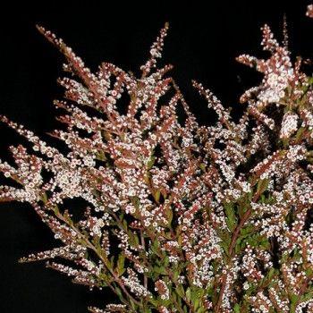Calycina Heather White Flower Heather Flower Beach Wedding Flowers Flower Bouquet Wedding