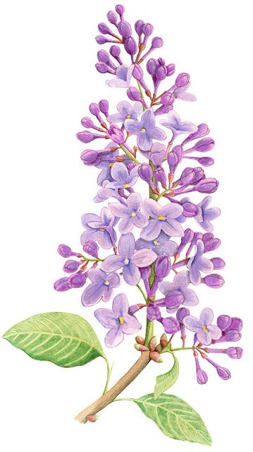 Lilac Flower Google Search Watercolor Flowers Flower Painting Purple Flowers