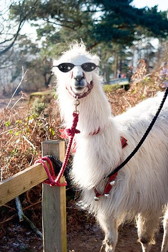 40fe16fe25 Llama with glasses  for my friend Beth Vogt. You must read her novel