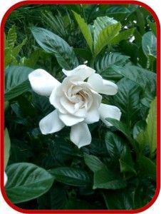 Scopri La #pianta Di #Gardenia ✿ Leggi I Consigli Su Come #coltivare E