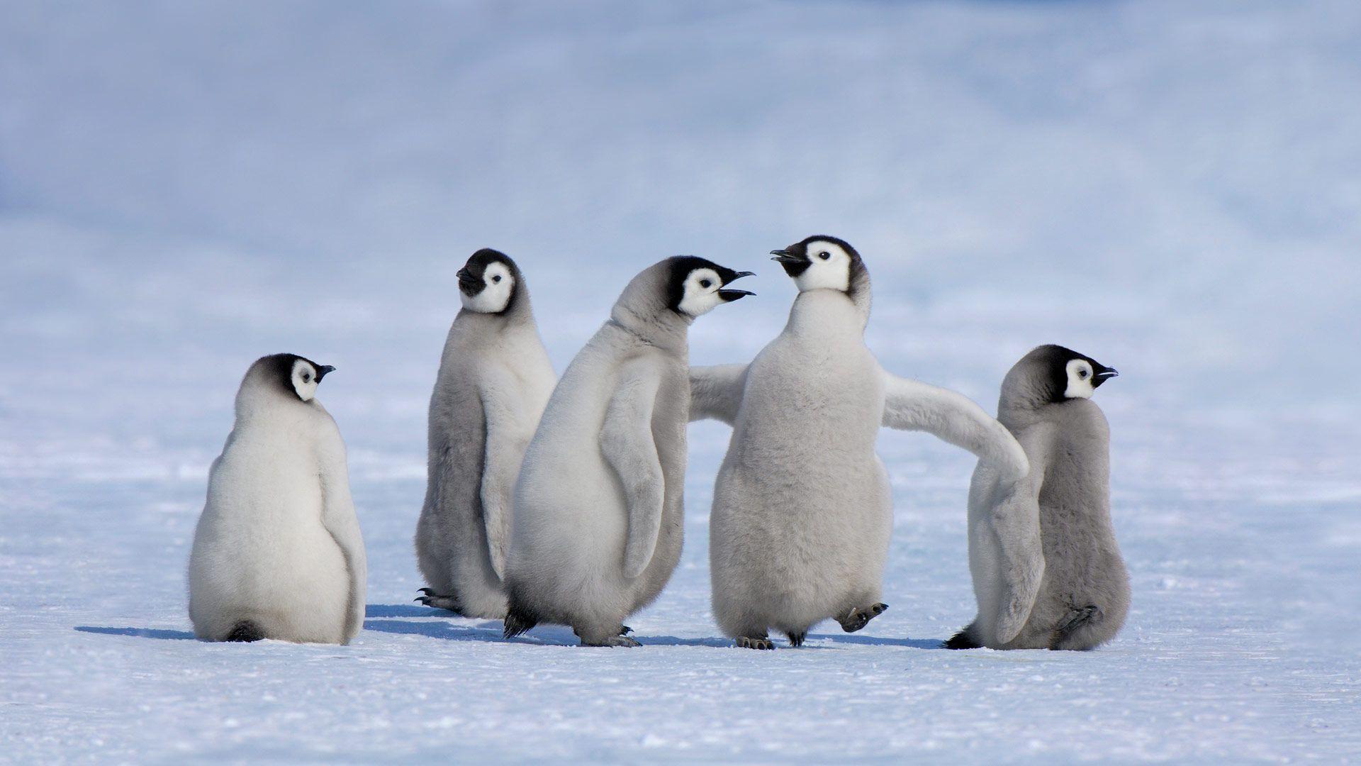 Emperor penguin chicks in Antarctica (© Jan Vermeer/Minden ...