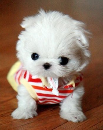 Maltese Puppy In An Adorable Outfit Cute Puppy Pictures