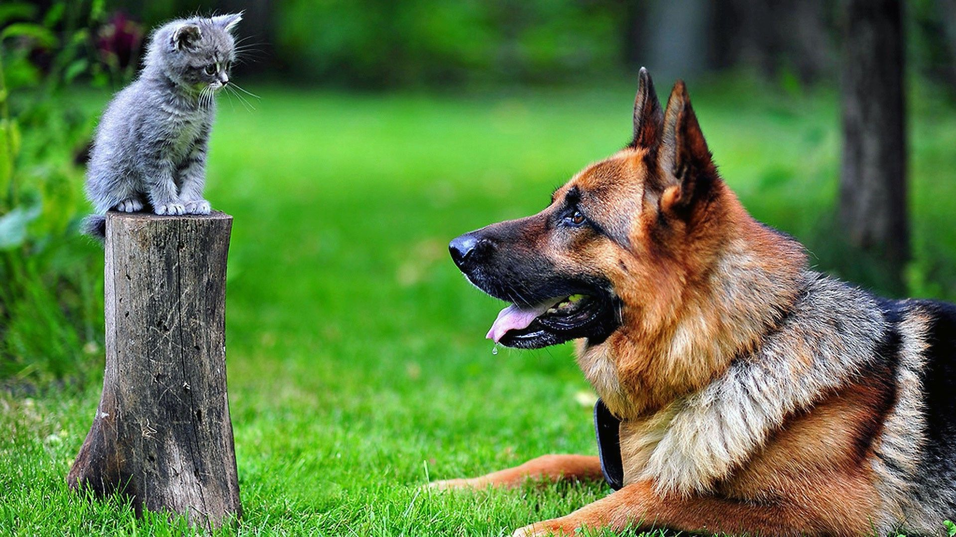 Cute German Shepherd And Friends Cute Kittens Images Dog Cat Pictures Cute Cats